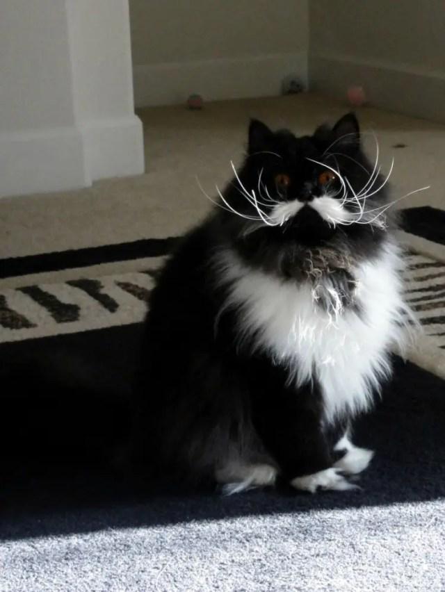 gatos con bigote 6