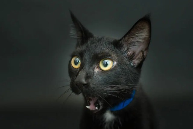 gatos negros adopcion 3