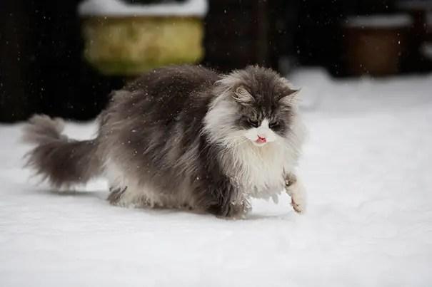 gato coon 13