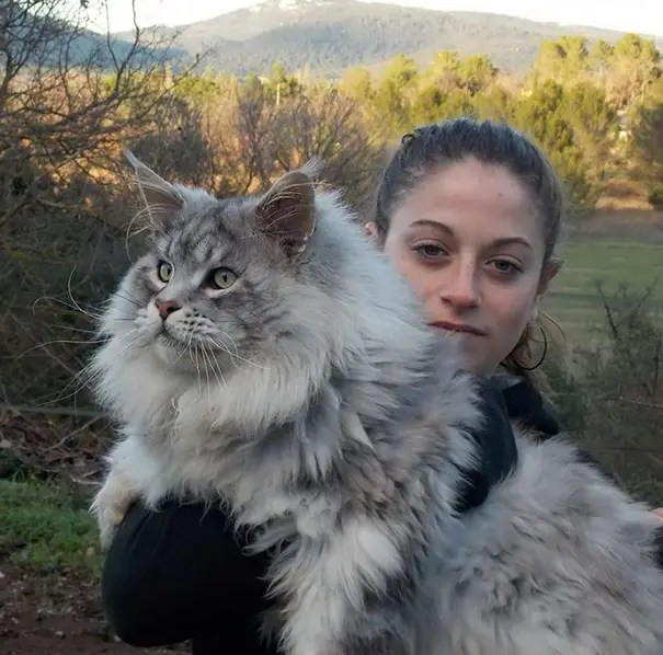 gato coon 6