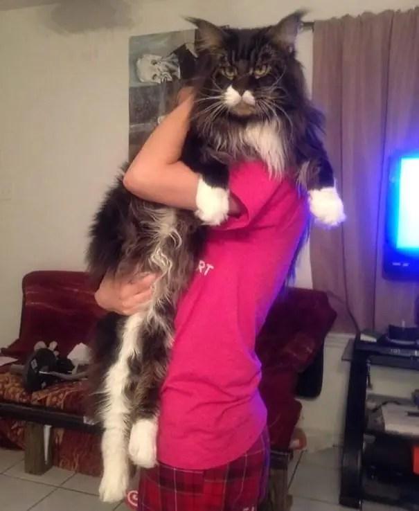 gato coon 8