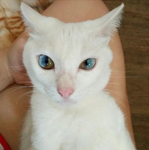 gatos heterocromia 3