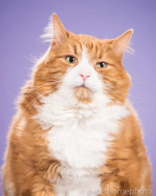 fotografia-gatos-gordos-1