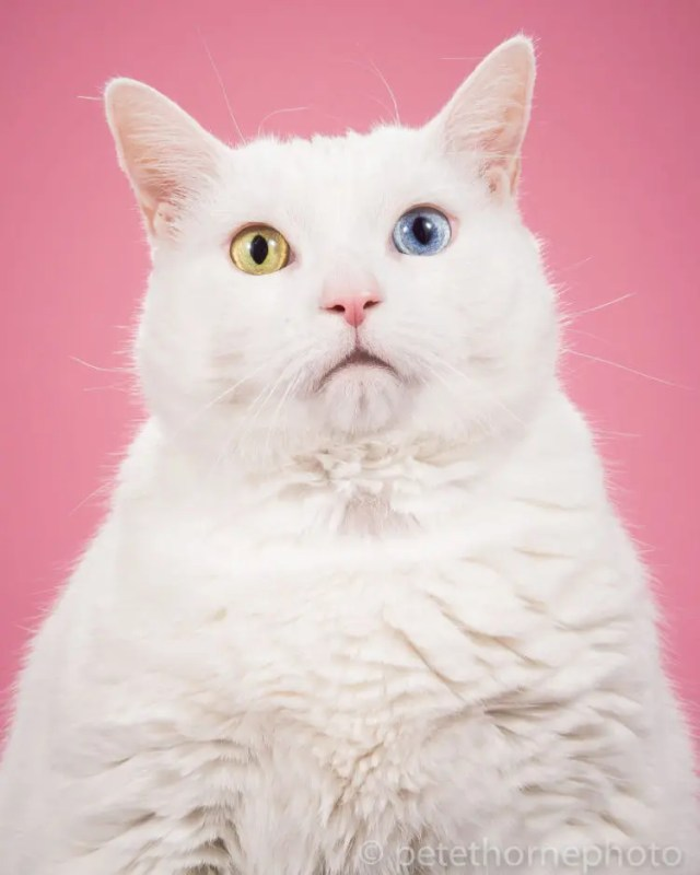 fotografia-gatos-gordos-2