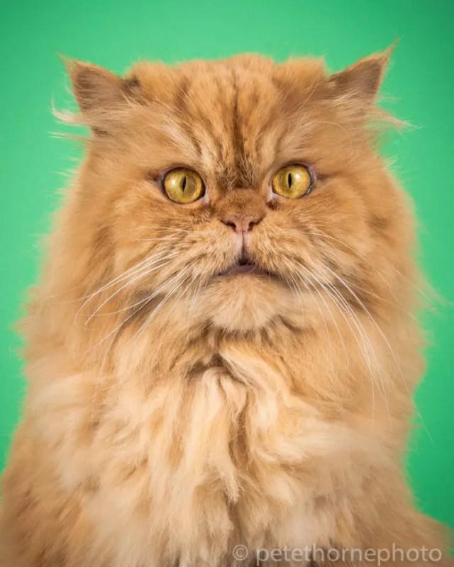 fotografia-gatos-gordos-5
