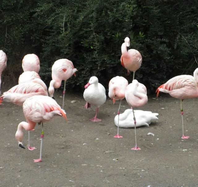 patos-flamencos-1