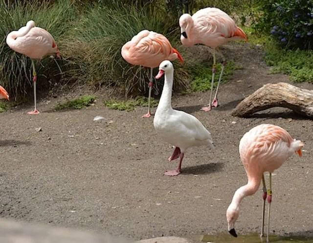 patos-flamencos-10