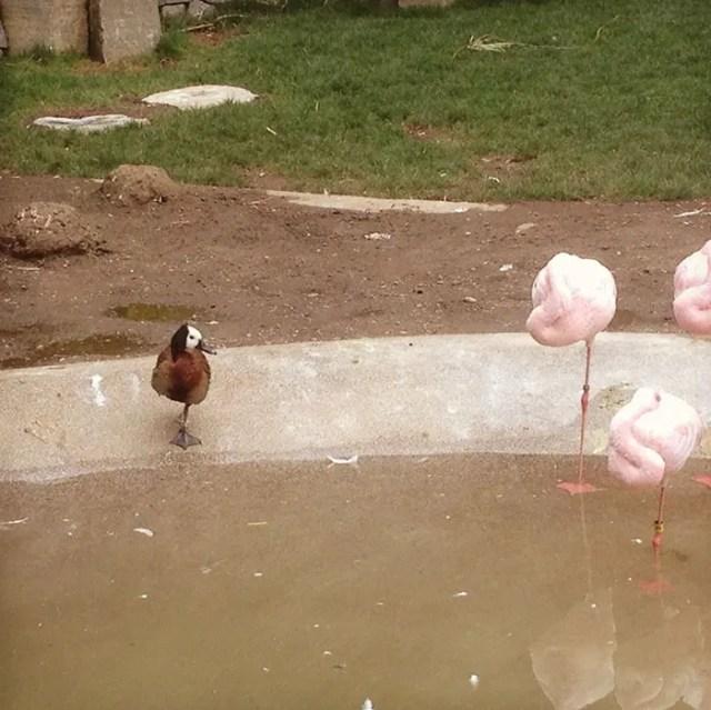 patos-flamencos-5