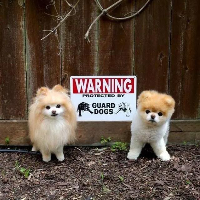 adorables-perros-peligrosos-18