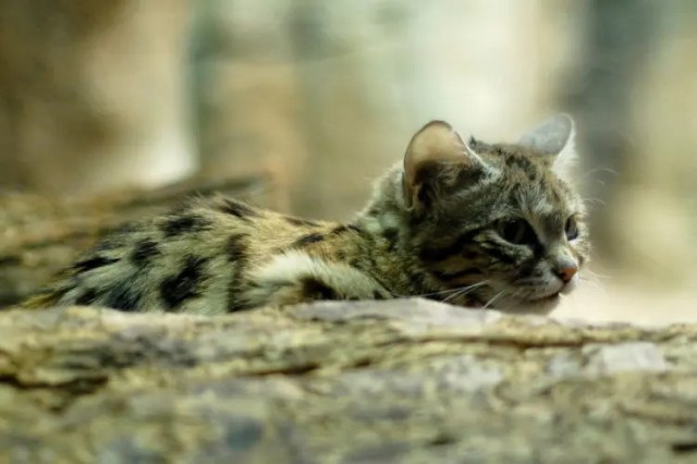 especies-felinas-peligro-extincion-28