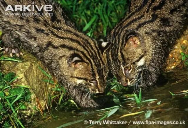 especies-felinas-peligro-extincion-5