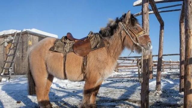 caballos-yakutos-1