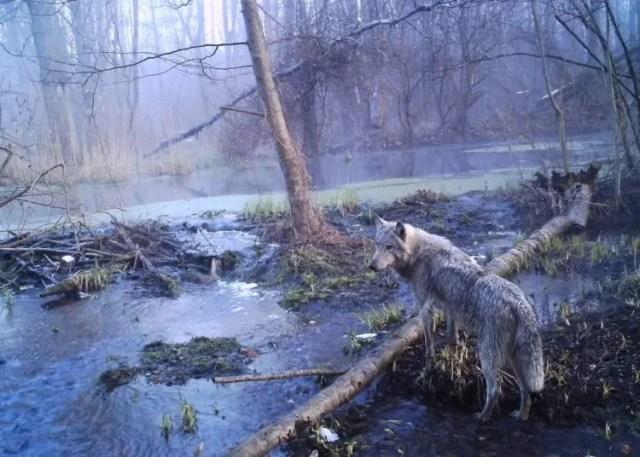 los-animales-que-conquistaron-de-vuelta-chernobyl
