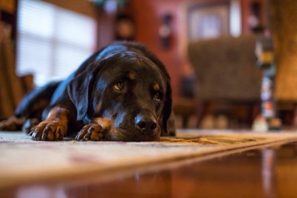 How to use enzyme cleaner for dog urine