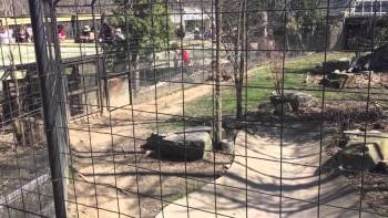 'Moron' Jumps Over Fence At Tiger Exhibit At Zoo To Retrieve His Hat