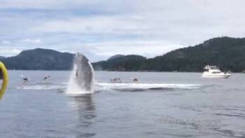Humpback Whales Breaching By Kayakers Is Terrifying Too Close