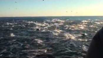 2,000 Dolphin Pod Stampede