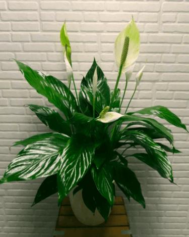 Spatifillum Blanco