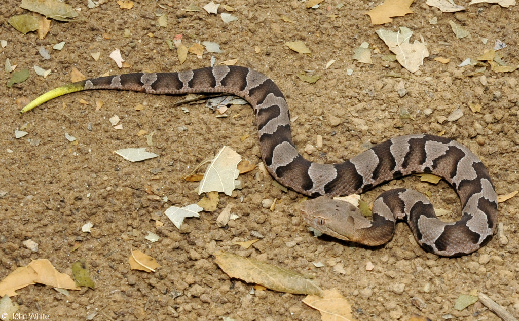 Identification Snake Louisiana Rat