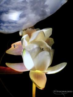 Anemone riflesso