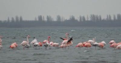 flamingo's in het grevelingenmeer