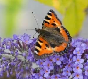 10 beste onkruidplanten voor insecten