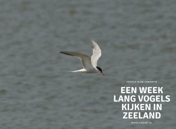 een week lang vogels kijken in Zeeland