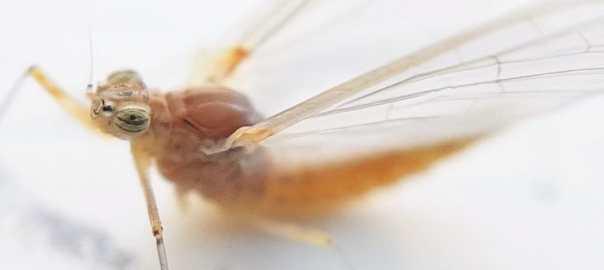eendagsvlieg in de tuin