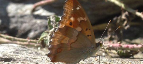 herken de kleine weerschijnvlinder klein domaso comomeer
