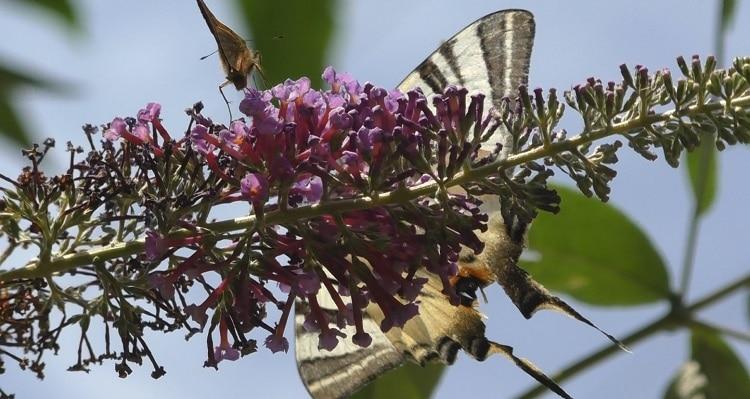 vlinderstruiken in ons landschap
