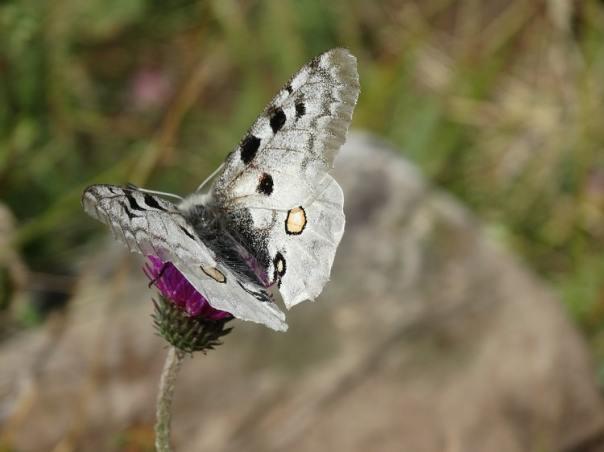 apollovlinder monte crocione comomeer italie witte vlinder b