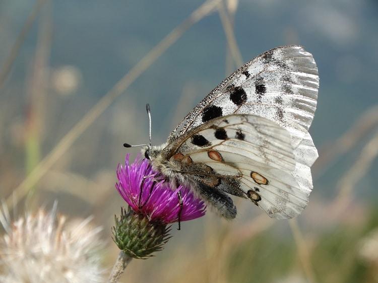 apollovlinder monte crocione comomeer italie witte vlinder d