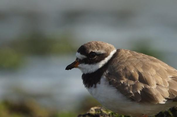 bontbekplevier sjaak huijer vogels kijken brouwersdam