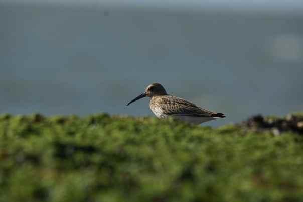 bonte strandloper vogels kijken brouwersdam sjaak huijer