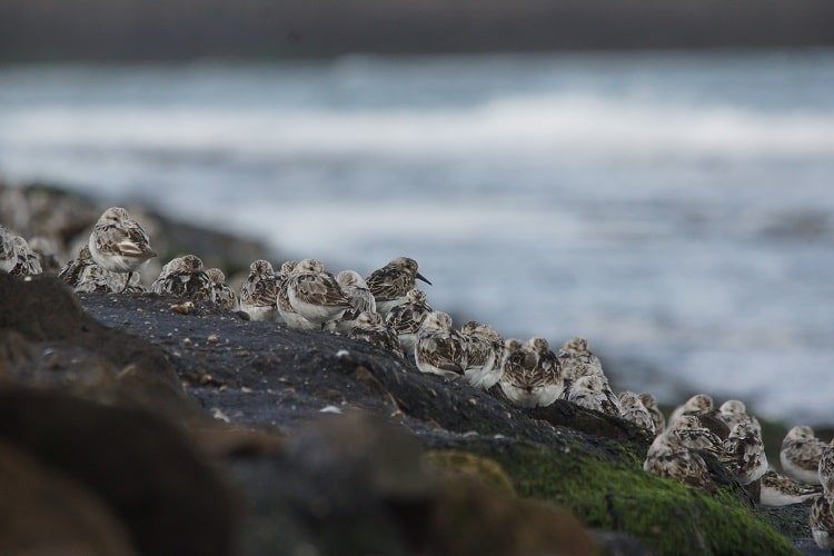 drieteenstrandlopers brouwersdam sjaak huijer hoog water