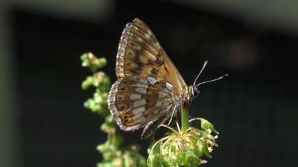 sleutelbloemvlinder comomeer italie