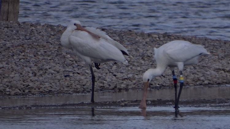 jonge lepelaars inlaag keihoogte wissenkerke zeeland wit