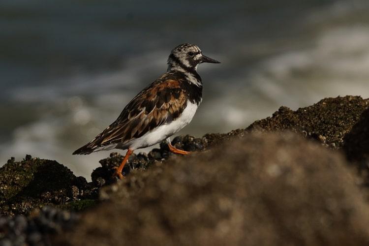 steenloper brouwersdam vogels kijken sjaak huijer