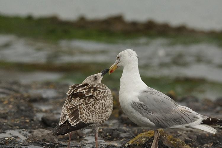 vogels kijken brouwersdam zilvermeeuw sjaak huijer