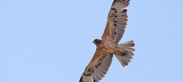 havikarend vogels kijken in de extremadura