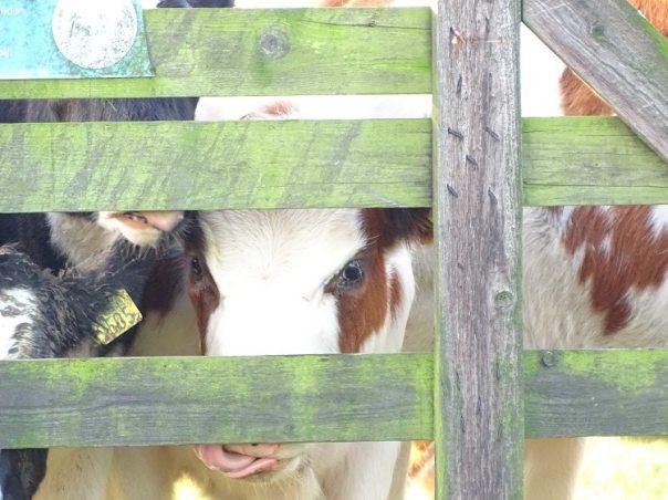 pink koe alblasserwaard
