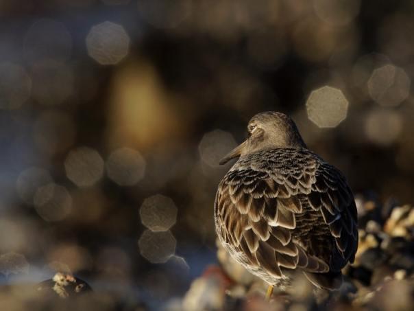 kijktip brouwersdam paarse strandloper sjaak huijer