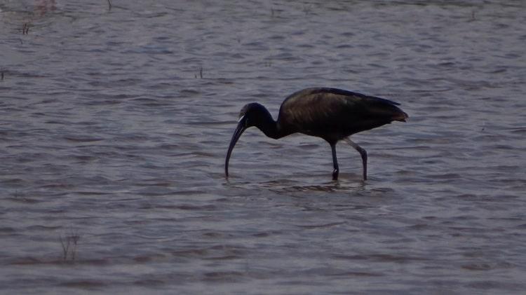 heilige ibis in de camargue