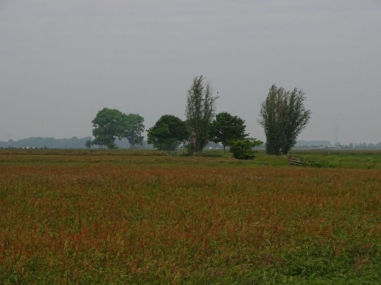 Ongemaaid grasland in de Alblasserwaard