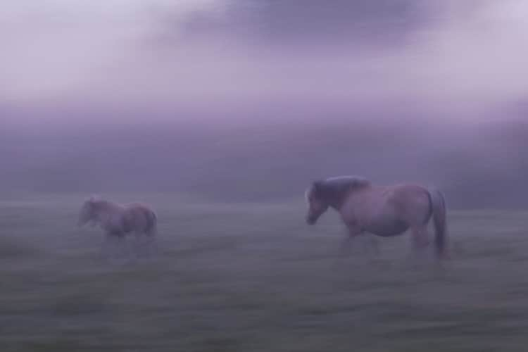 Wilde paarden (fotograaf: Sjaak Huijer)