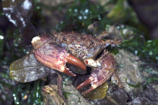 ruig krabbetje basis strandvondsten