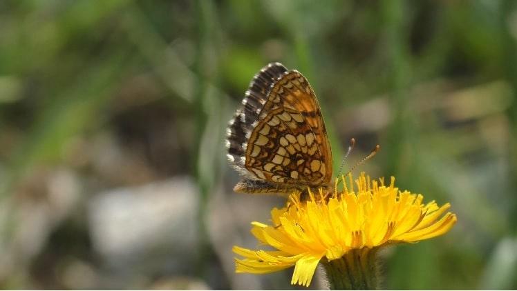 vlinders kijken bij valgrisenche
