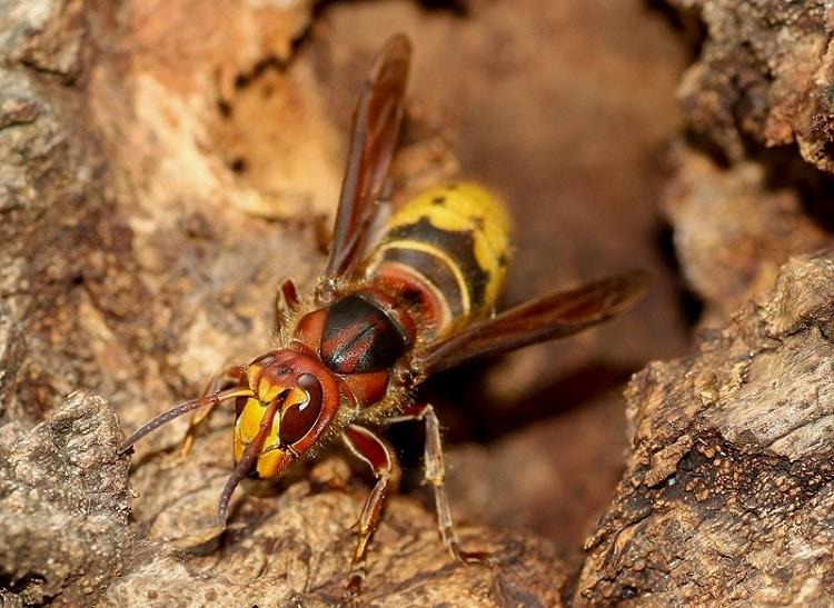 hoornaar wespennest rhoonse grienden