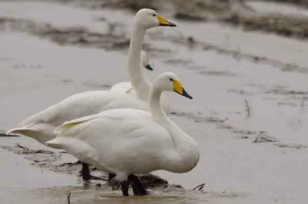 wilde zwanen kijken in Zeeland