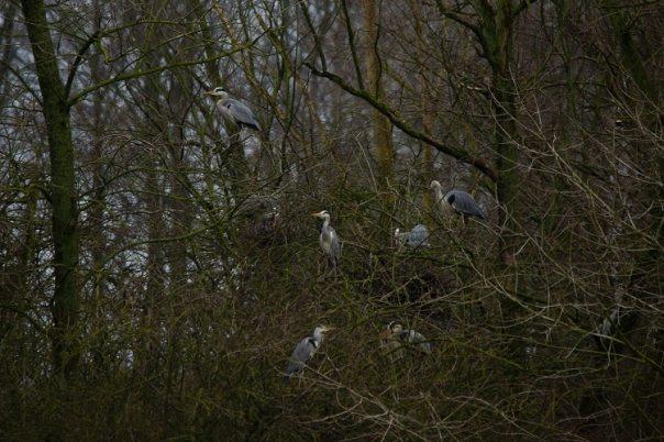 Kolonie blauwe reigers bij Willemstad (Fotograaf Sjaak Huijer)